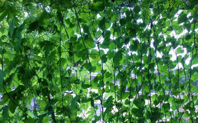 グリーンカーテンに適している植物、食べられる植物は? | オモタノ